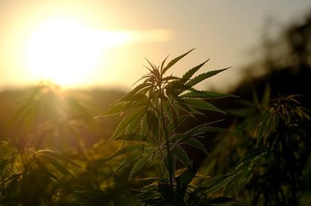 Cannabis Plant Sunset - NickyPe Pixabay