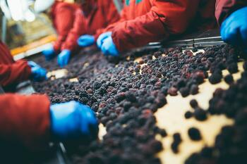 Disposable Gloves Sorting Berries Fruit